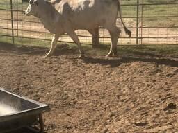 Bonsmara and Brahman Cattle