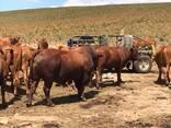 Bonsmara, Brahman and Nguni Cattle Eastern Cape - photo 1