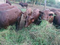 Bonsmara Cattle and Bonsmara Calves - Whatsapp 0832458210