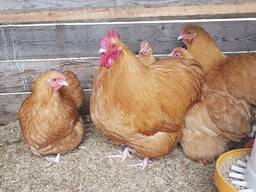 Buff Orpington chickens for sale whatsapp