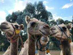 Camels for sale whatsapp - photo 3