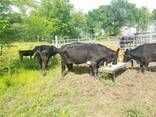 Cow bull, heifers and calves for Sale whatsapp - фото 1
