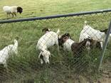 Dairy & beef goats for sale whatsapp - photo 1