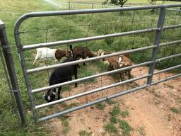 Dairy & beef goats for sale whatsapp - photo 4