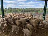 Dorper And Merino Lambs For Sale - photo 1