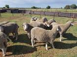 Dorper and Merino Lambs for sale in South Africa - photo 1