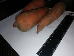 Ek sal wortels groothandel in Kazakstan verkoop