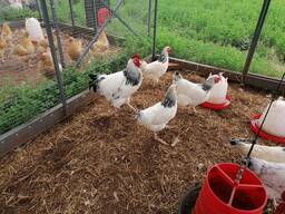 Healthy Sussex Roosters and Hens
