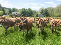Jersey Herd cows for sale whatsapp 27631521991