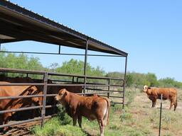 Nguni and Beef Master Cows