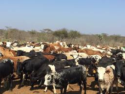Nguni Cattle and Nguni Calves/ Whatsapp 0832458210