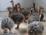 Ostrich chicks and fertile eggs for sale in South Africa - photo 1