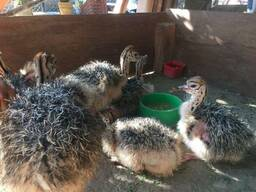 Ostrich chicks and fertile eggs Middelburg