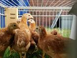 Poultry chicken and chicks for sale whatsapp - фото 2