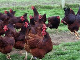 Rhode Island Red chickens for sale whatsapp 27631521991