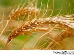 Soft Milling Wheat 11,5% and 12,5% pro, Feed Wheat