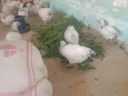 Sussex chickens