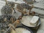 Where can i buy Ostrich chicks and fertile eggs - photo 1
