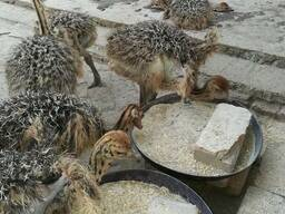 Where can i buy Ostrich chicks and fertile eggs